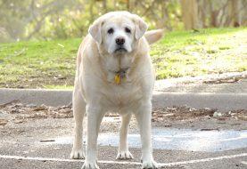 Obezita hrozí i psům. Jak jí předcházet?