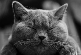 Víte, kde se vzala britská whiskas kočka?