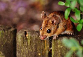 Máme doma myši – jak se jich zbavit?