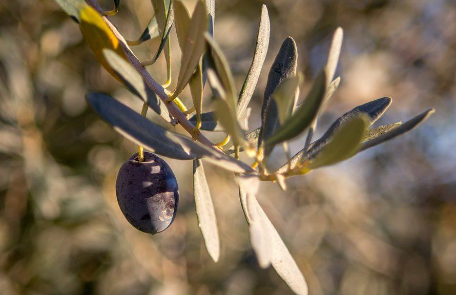Dopřejte si chuť a zdraví oliv z Řecka