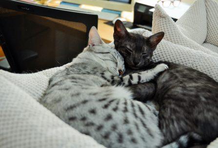 Egyptská Mau: záhadná kočka s vlastním rozumem