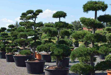 Cesmína vroubkovaná ve vaší zahradě: Jaký kultivar vybrat?